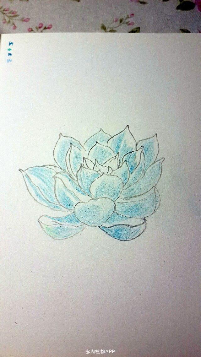 别山卡农的彩铅手绘(桃美人,熊童子,花月夜,卡罗拉)