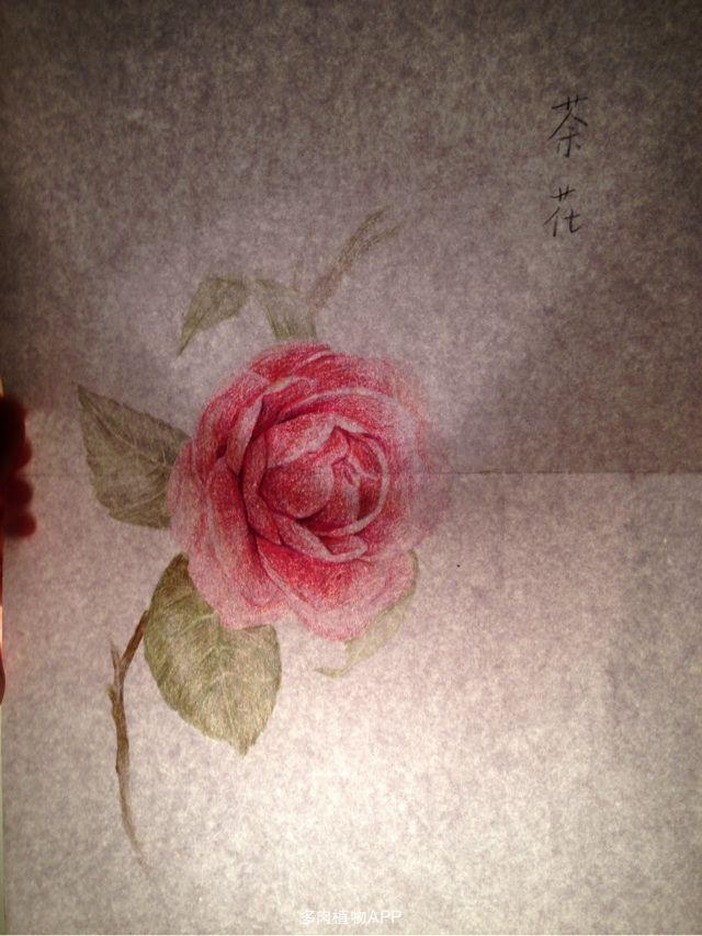 首次尝试彩铅花卉