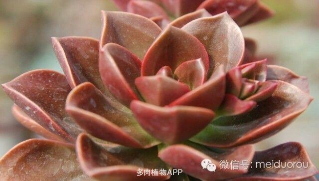 资料请尽量写完整) 植物中文名:巧克力方砖 植物拉丁名:echeveria me