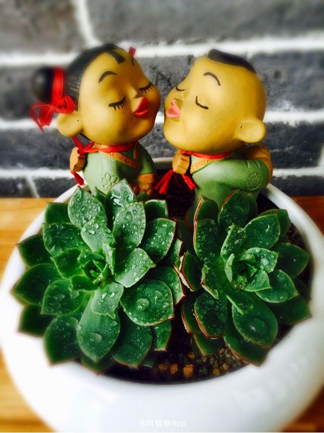 好浪漫[表情b2]双头青牡丹锦加两亲嘴小萌娃有木有