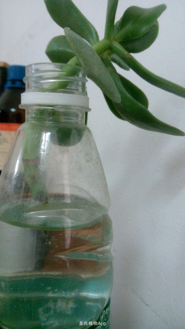 水培玉树的步骤