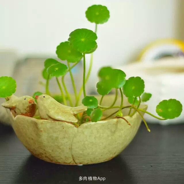 铜钱草,别名香菇草,因名字中寓意财源滚滚,深得
