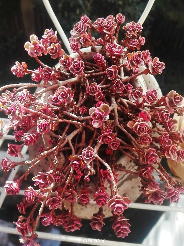 家有鲜肉 2016-11-24 13:30:30 小球玫瑰锦木质化小老庄,普货中的