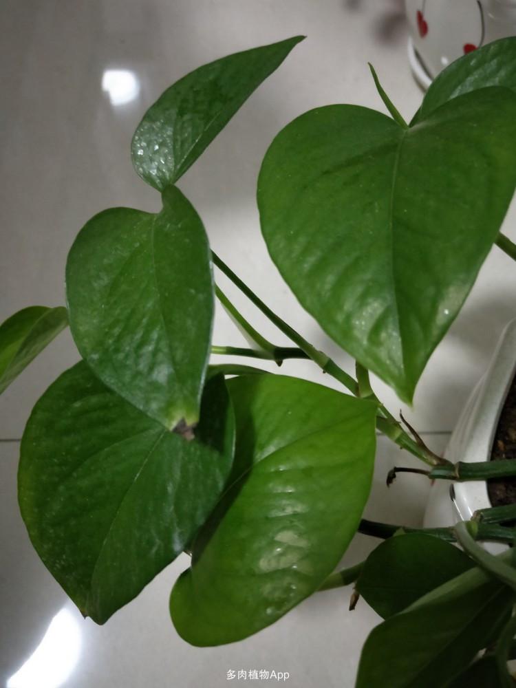 绿萝叶子尖发黑怎么回事?图片